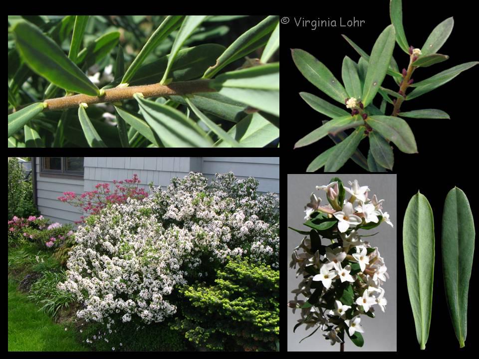Daphne ×burkwoodii photos (V.I. Lohr)