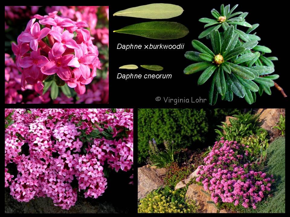 Daphne cneorum photos (V.I. Lohr)