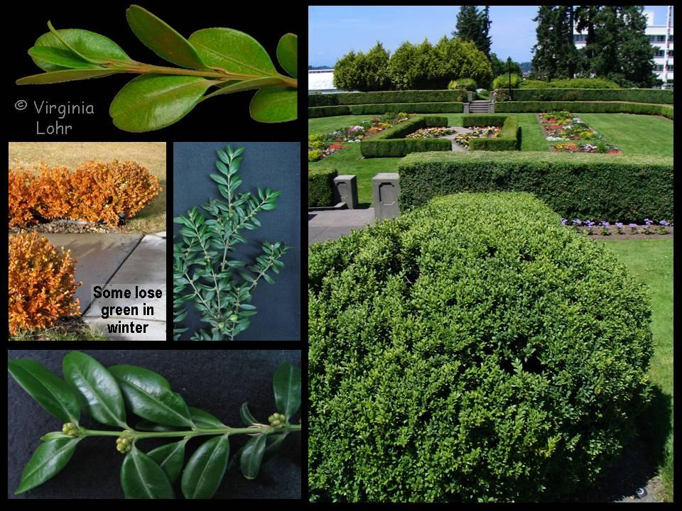 Buxus spp. photos (V.I. Lohr)