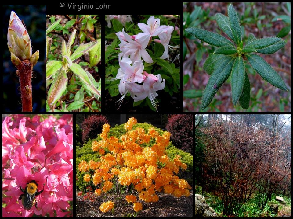 Azalea photos (V.I. Lohr)