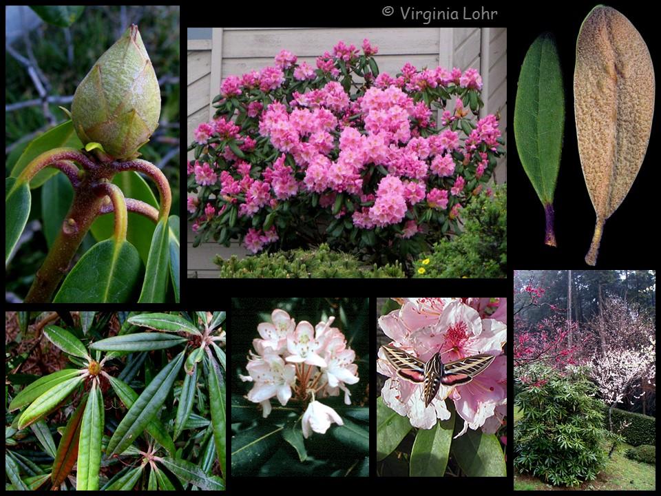 Rhododendron photos (V.I. Lohr)