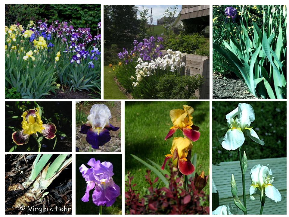 Iris ×germanica  photos (V.I. Lohr)