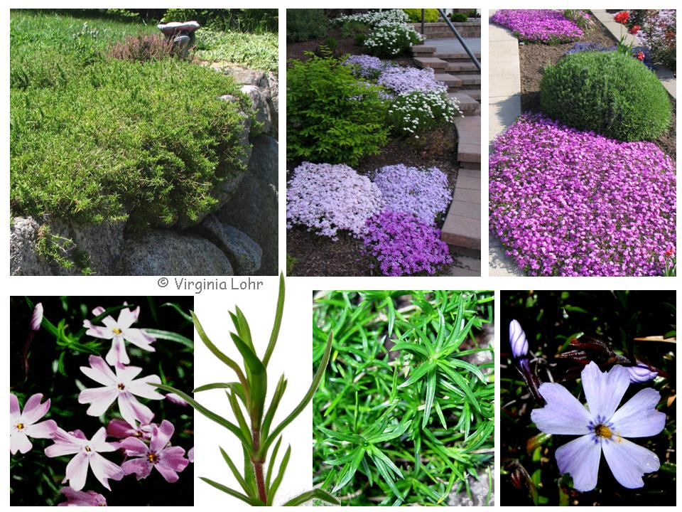 Images of Phlox subulata(V. Lohr)