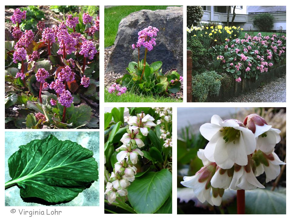 Bergenia spp.  photos (V.I. Lohr)