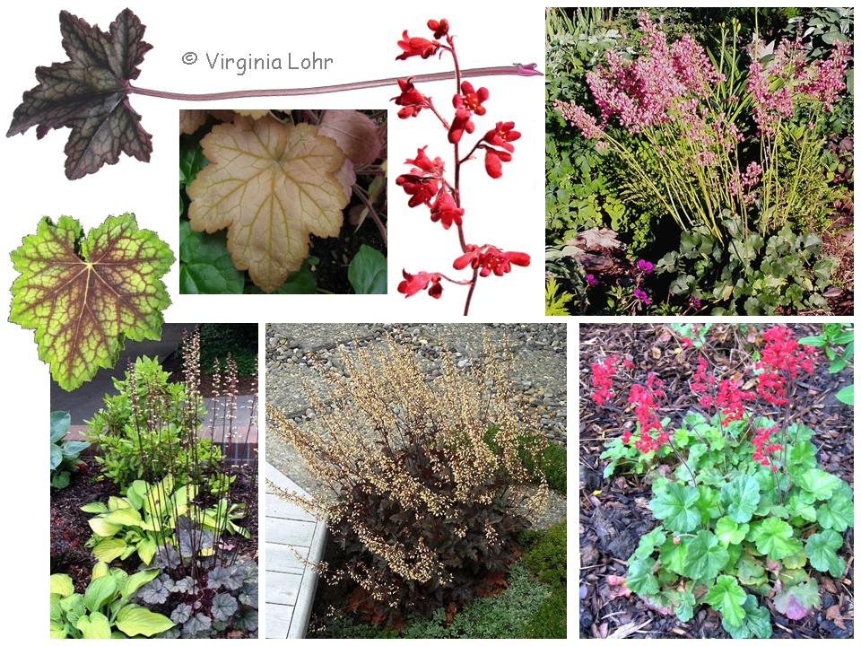 Heuchera spp.  photos (V.I. Lohr)