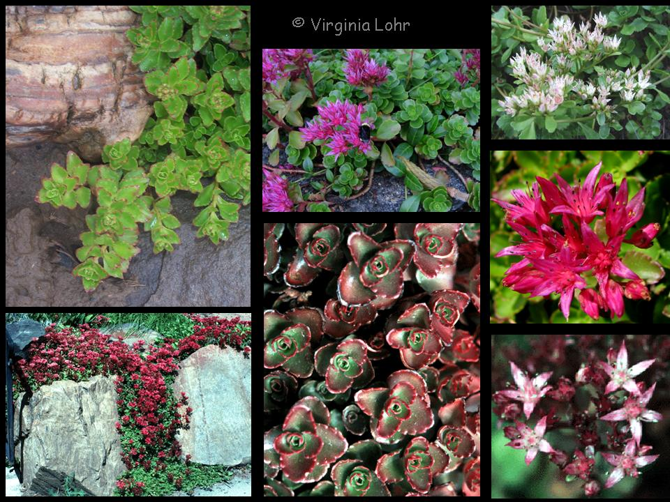 Sedum spurium photos (V. I. Lohr)
