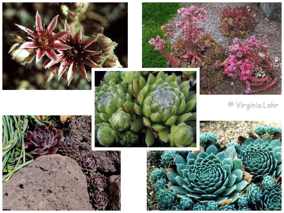 Sempervivum spp. photos (V.I. Lohr)