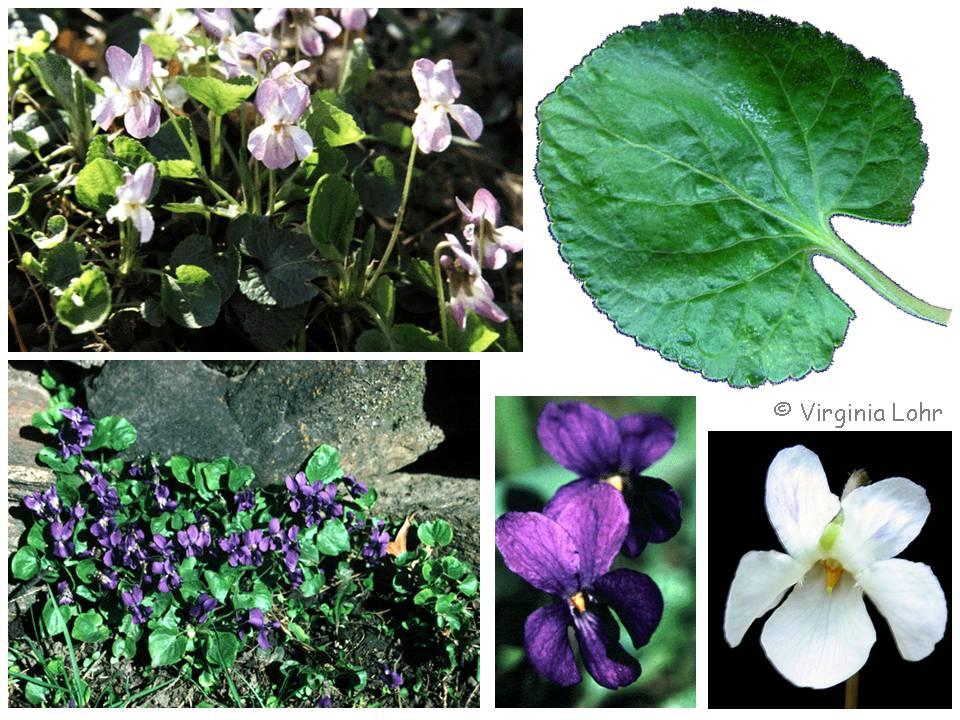 Viola odorata  photos (V.I. Lohr)